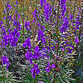 Monkshood In Rocky Harbour-nl by Ruth Hager