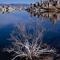 Mono Lake Salt Bush by Tom Daniel