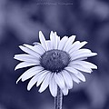 Monochrome Aster by Sonali Gangane