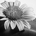 Monochrome Coneflower by David and Carol Kelly