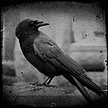 Monochrome Crow by Gothicrow Images