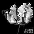 Monocrhome Parrot Tulip by Oscar Gutierrez