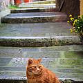 Montepulciano Cat by Inge Johnsson
