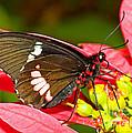 Montezuma Cattleheart Butterfly by Millard H. Sharp