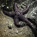 Moody Starfish Iv by Roxy Hurtubise