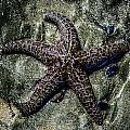 Moody Starfish V by Roxy Hurtubise