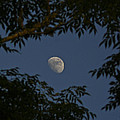 Moon Among The Branches by David Kehrli