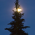 Moon Behind Spruce by John Shaw