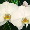 Moon Orchid Pair by Richard Bryce and Family
