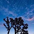Moon Over Joshua - Joshua Trees During Sunrise In Joshua Tree National Park. by Jamie Pham