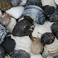 Moon Snails And Shells Still Life by Christiane Schulze Art And Photography