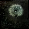 Moonlit Dandelion by Gothicrow Images