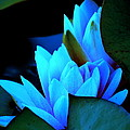 Moonlit Waterlilies by Kathy Sampson