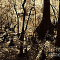 Moores Creek Swamp by Tommy Anderson