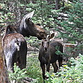 Moose And Her Calf by Susan Chesnut