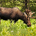 Moose At Sulfur Creek by TL  Mair