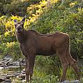 Moose Baby Sniffing Morning Air by Glenn Gordon