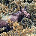 Moose by Bill Howard