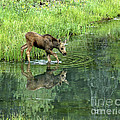 Moose Calf Testing The Water by Timothy Flanigan