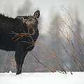 Moose Cow Feeding On Willow Idaho by Michael Quinton