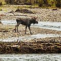 Moose Crossing River No. 1 - Grand Tetons by Belinda Greb