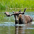 Moose  by Don and Bonnie Fink
