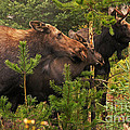 Moose Family At The Shredded Pine by Stanza Widen