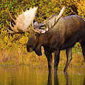 Moose In Glacial Kettle Pond  by Yva Momatiuk John Eastcott