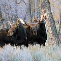Moose Meeting by Jeff Swan
