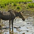 Moose by Michael Shake