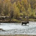 Moose Mid-stream - Grand Tetons by Belinda Greb