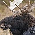 Moose Pictures 101 by World Wildlife Photography