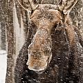 Moose Pictures 88 by World Wildlife Photography