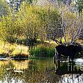 Moose Reflection by Deanna Cagle