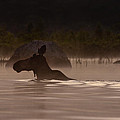 Moose Swim by Brent L Ander