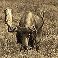 Moose by Tonya Hance