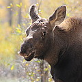 Moose Who Lost His Mother by G Berry