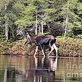 Moose_0586 by Joseph Marquis