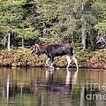 Moose_0587 by Joseph Marquis