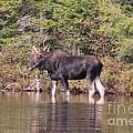 Moose_0591b by Joseph Marquis