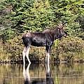 Moose_0609 by Joseph Marquis