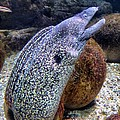 Moray Eel by FL collection