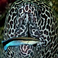 Moray Eel With Cleaner Wrasse by Scubazoo