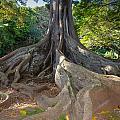 Moreton Bay Fig Tree From Jurrasic Park by Sam Amato