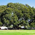 Moreton Fig Tree In Santa Barbara by Denise Mazzocco