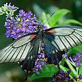 Mormon Butterfly by Tam Ryan