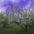Morning Apple Blooms by William Havle