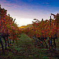 Morning At The Vineyard by Bill Gallagher