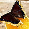 Morning Cloak Butterfly by Carol Toepke