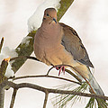 Morning Dove by Everet Regal